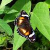 Great Eggfly Female