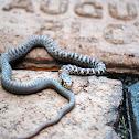 Juvenile Eastern Milk Snake