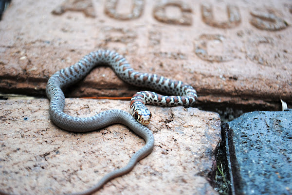 Juvenile Eastern Milk Snake | Project Noah