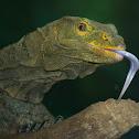 Grey's Monitor Lizard (aka Butaan)