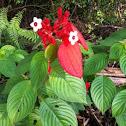 Red flag bush