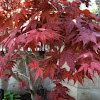 Japanese Maple or Smooth Japanese Maple