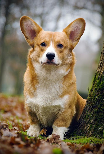 Corgi Wallpapers HD