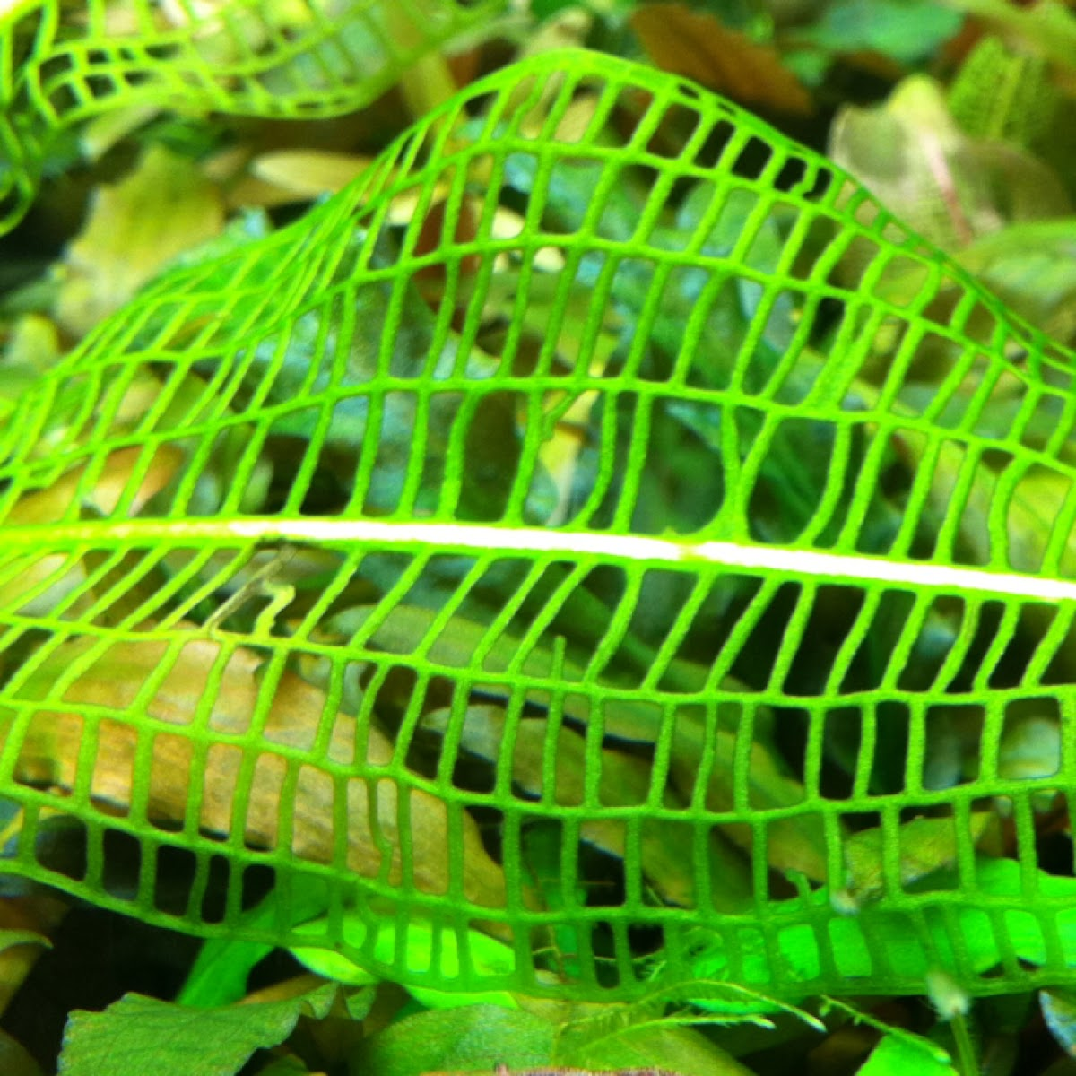 Madagascar Lace Leaf