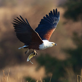 by John Mcloughlin Wildlife Photography - Animals Birds ( fish eagle flying, john mcloughlin wildlife photographer, hunting, catching,  )