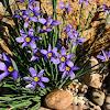 Idaho Blue eyed grass