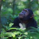 Eastern Common Chimpanzee