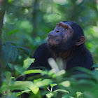 Eastern Common Chimpanzee