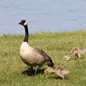 Canada Goose (Adult and Goslings)