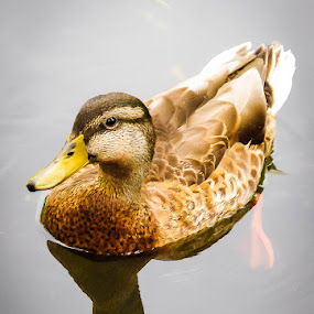 Duck by J Delos Santos - Animals Birds ( happy duck, water, reflection, swimming duck, bird in water, beautiful duck, quack, animal in water, ducks, bird, wild life, canadian duck, animal reflection, duck, bird reflections, smiling duck, duck in lake,  )