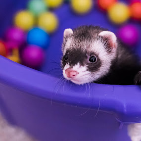 Spazzy Girl by Nicole Mitchell - Animals Other Mammals ( playing, balls, spazzy, ball pit, ferret, colorful, mood factory, vibrant, happiness, January, moods, emotions, inspiration )