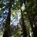 Redwood/ Sequoia