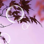 Dream Bubbles And The Maples