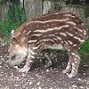 Brazilian Tapir (juvenile)
