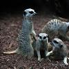 playful meerkats