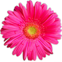 Pink Flower Live Wallpaper logo