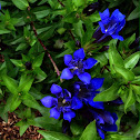 Crested Gentian or Summer Gentian