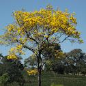 Ipê-amarelo-da-serra