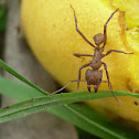 Bachac (Leaf Cutter Ant)