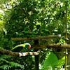 blue-naped parrot