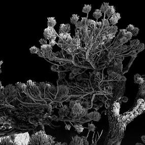 Pines.... by Johnny Gomez - Black & White Flowers & Plants