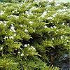 Abeto flores blancas