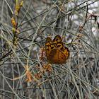 Common Brown - male
