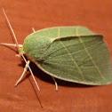 Scarce Silver-lines Moth