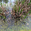 Florida Cattails