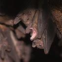 Rousette Bat