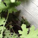 Mediterranean House Gecko or Turkish Gecko