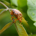 12 Spotted Lady Beetle