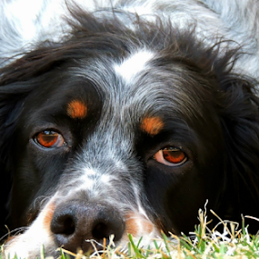Radar by Sydney Badeau - Animals - Dogs Portraits ( white, setter, brown, dog, english, outside, black )