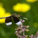 Pied Paddy Skimmer male