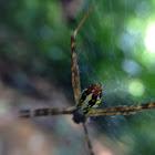 Mangrove St. Andrews Cross Spider
