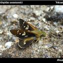 Great Swift(Pelopidas assamensis)