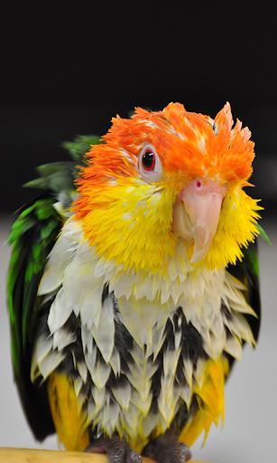 Funny Wet Parrot at rain WP