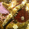 multiarmed sea star