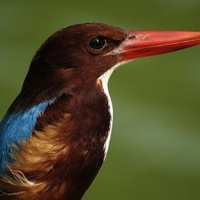 Portrait by Kishan Meena - Animals Birds ( bird, nature, kingfisher, wildlife, portrait )