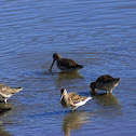 Long and Short-billed Dowitchers