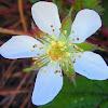 California Blackberry Blossom