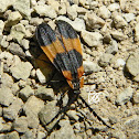 Banded Net-Winged Beetle