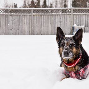 Snowy Face by Mikahla Dorey - Animals - Dogs Portraits ( snow, german shepherd, dog )
