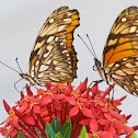 Juno Longwing Butterflies