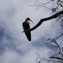 Cocli - Buff necked ibis