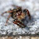 Jumping spider (juvenile)