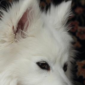 A Traditional Photo by Melanie Melograne - Animals - Dogs Portraits ( white dog, traditional dog portrait, american eskimo. dog portrait, #GARYFONGPETS, #SHOWUSYOURPETS )