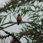Heliodoxa leonado-Fawn-breasted brilliant