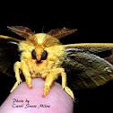 Io Moth (male)