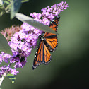 monarch butterfly and honey bee